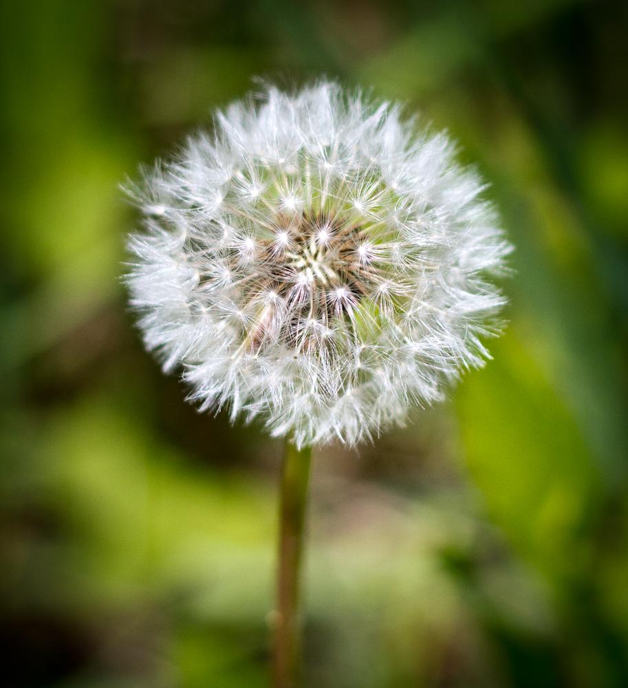 Dead Dandelion